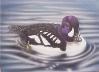 Duck stamp entry Barrows Goldeneye