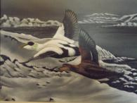 Air Brushed painting of Eider Ducks