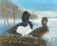 Acrylic Painting, Ring Neck  Ducks